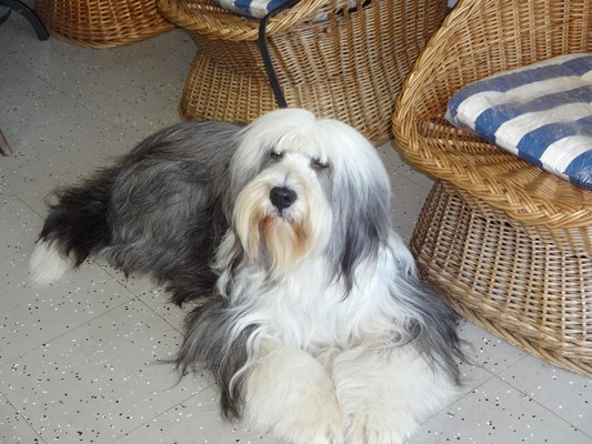 Bearded Collie Annie